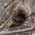 A porcupine on the Wagon Trail through Keystone Canyon east of Valdez. Photo by Ned Rozell.