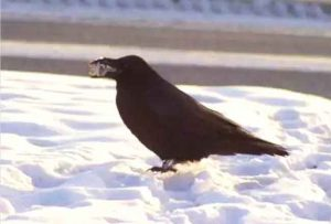 A raven in Fairbanks. photo by Ned Rozell.