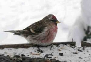 A common redpoll on a 40 below zero day in Fairbanks. Ned Rozell photo.
