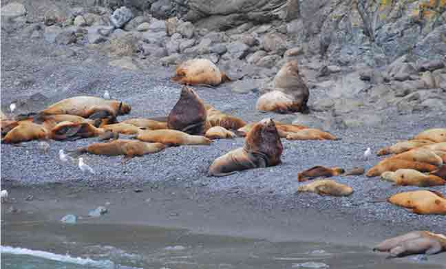 Seeing a permanently marked Steller sea lion (center) is invaluable for estimating important information about the population, like survival and birth rates.  Photo: NOAA Fisheries