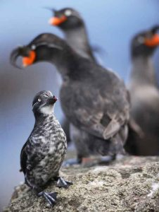 Least and crested auklets, seabirds that live in and around the Aleutian Islands. Photo by Cornelius Schlawe.