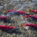 Alaska sockeye salmon migrating.Dennis Wise/University of Washington