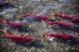 Alaska sockeye salmon migrating.Dennis Wise/University of Washington