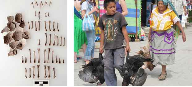 Turkey eggs and bones uncovbered in Oaxaca, Mexico (L). After 1,500 years, turkey domestication continues (R). Image Field Museum