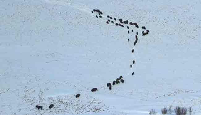 Wood Bison near Quinhagak in southwestern Alaska. Image-ADF&G