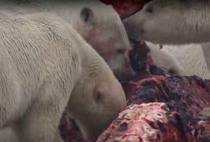Group of Polar Bears feeding on a whale carcass. Image-Screenshot-Wallace Hughes/YouTube video