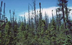 Recent boreal wildfires are changing forest communities in interior Alaska. Credit: Wikimedia Commons
