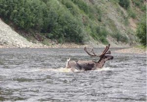 A caribou crosses the Fortymile River. Photo by Ned Rozell.