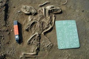 A ritual burial of two dogs at a site in Illinois near St. Louis suggests a special relationship between humans and dogs at this location and time (660 to 1,350 years ago). Photo courtesy Illinois State Archaeological Survey.