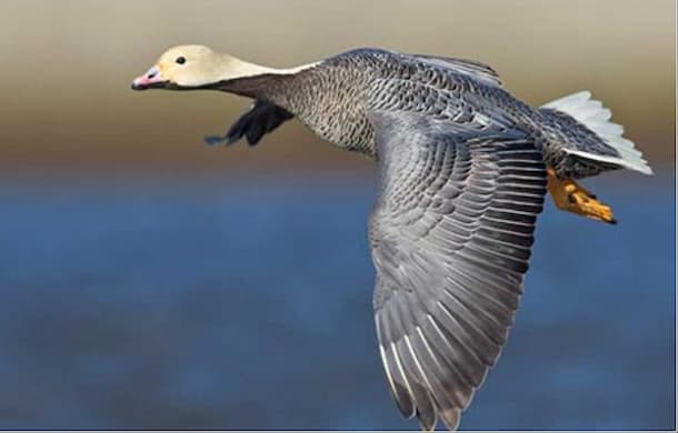 Proposed Rule for Subsistence Harvest of Migratory Bird in Alaska Available for Public Comment