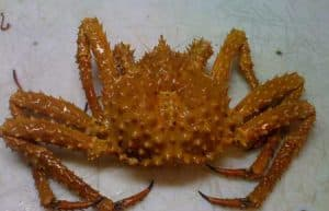 Golden King Crab. Image-A. Olson/ADF&G