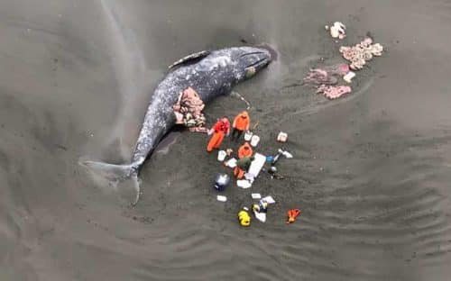 Another Dead Gray Whale Discovered, This Time Near Cordova