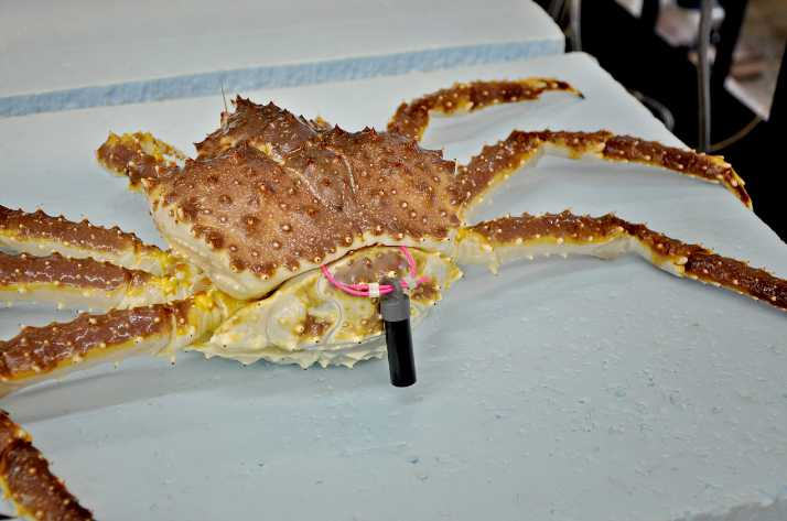 Saildrone Set to Track Alaska Red King Crab