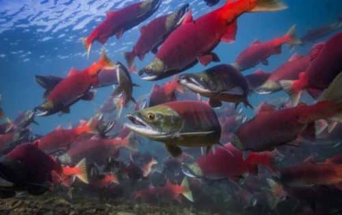 2020 Commercial Salmon Fisheries Being Debated