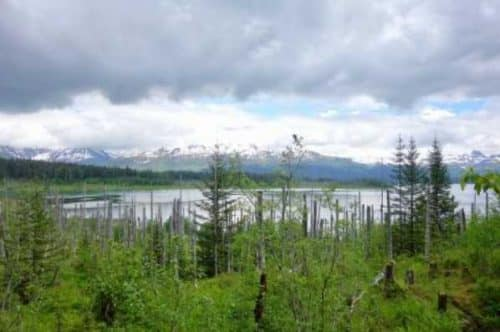 Dead trees near a shoreline of Russell Fjord about 15 miles from the town of Yakutat. Ned Rozell photo.