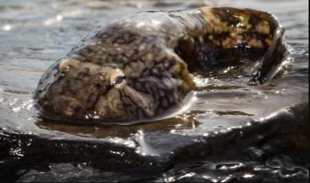 Inspired by Northern Clingfish, Researchers Make a Better Suction Cup