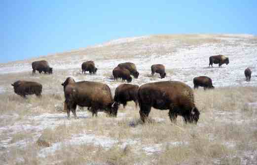 Young, Haaland, and Cole Introduce Legislation to Restore Buffalo on Tribal Lands