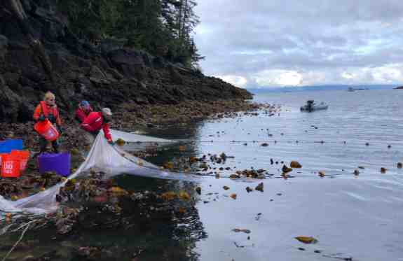 Alaska Cod Populations Plummeted During The Blob Heatwave— New Study Aims to Find Out Why