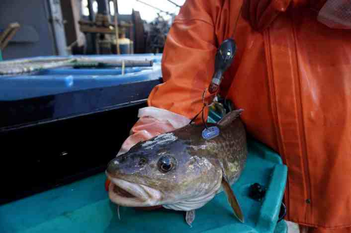 Tracking Cod in the Aleutian Islands