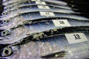 Sockeye salmon juveniles. Photo: NOAA Fisheries