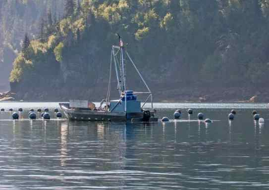 Alaska Sea Grant survey reveals challenges to mariculture industry caused by COVID-19 pandemic