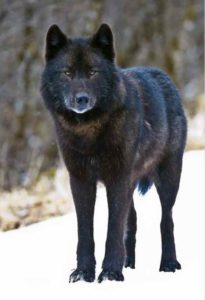Alexander Archipelago wolf. credit: ©Robin Silver / Center for Biological Diversity