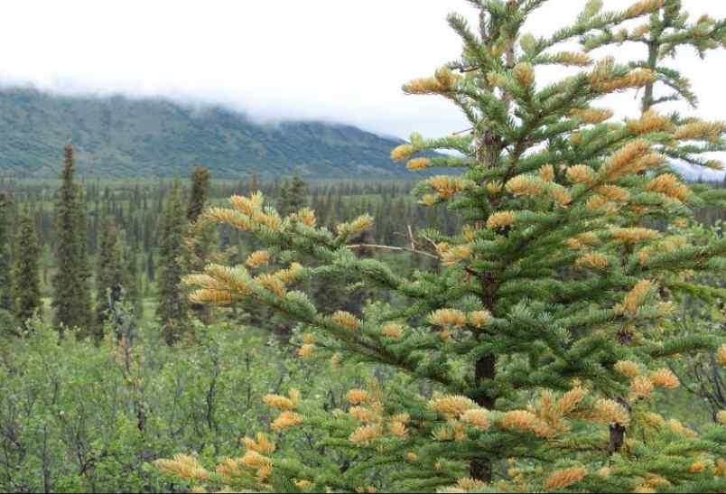 Orange Trees in the Alaska Range