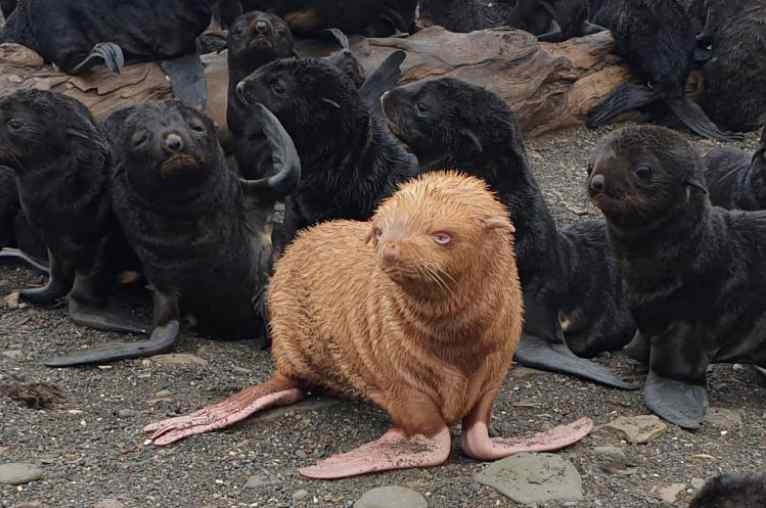 Rare Albino Fur Seal Pup Stands Out