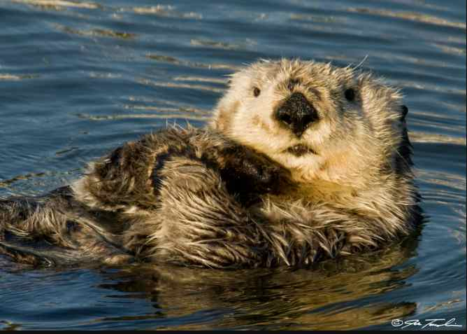 Loss of Sea Otters Accelerating the Effects of Climate Change