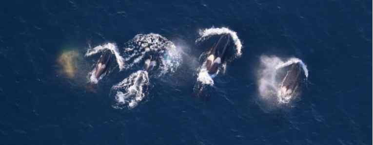 First Direct Evidence of Killer Whale Predation on Bowhead Whales in the U.S. Pacific Arctic Documented by Scientists
