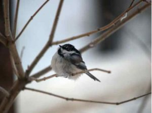 A black-capped chickadee on a cold Alaska day. Photo by Jim DeWitt