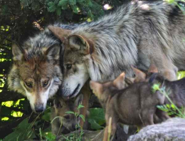 Despite 'Meager Numbers,' Trump Administration Removes Gray Wolves From Endangered Species List