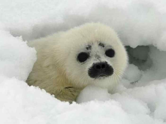 NOAA Fisheries Proposes Critical Habitat for Ringed and Bearded Seals in U.S. Arctic