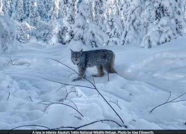 High time for lynx in Alaska's Interior