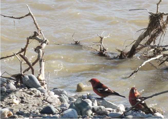 White-Winged Crossbills and Yellow Snow