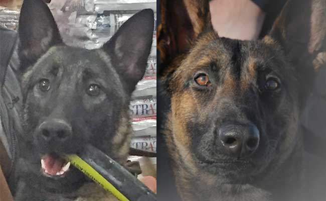 The State's newest K-9 troopers need names. Image-State of Alaska