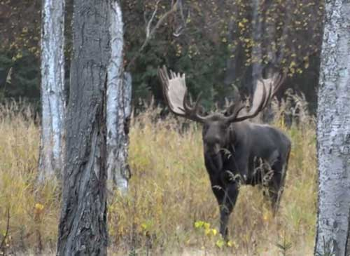 Moose featured in ADF&G video. Image-ADF&G