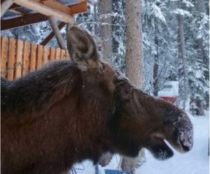 The long noses found on moose, including this one in a Fairbanks yard, are adapted for feeding under water. Image-Ned Rozell