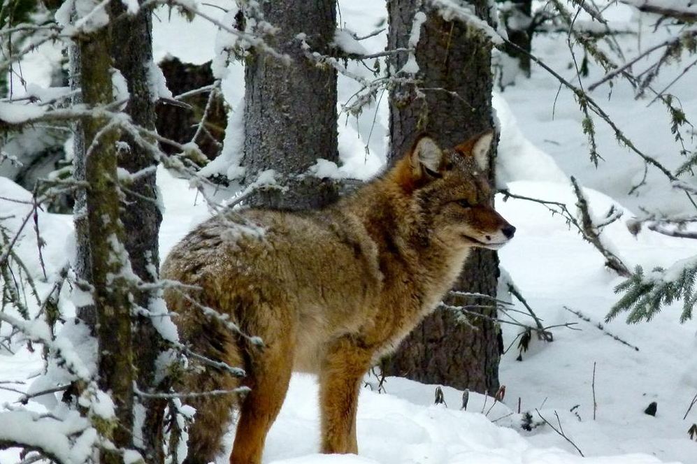 Fairbanks teacher Jim Lokken snapped this image of a coyote he has seen several times near University of Alaska Fairbanks ski trails. Photo by Jim Lokken.