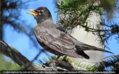American Robins not Heading North Quite Yet | Alaska ...