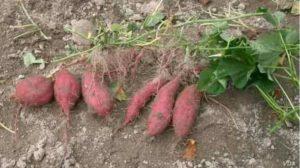 The Sweet Potato, native to S. America was around in Polynesia 1,000 years ago. (Credit: Miya)