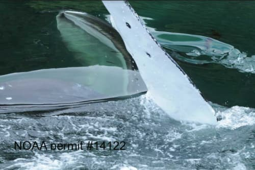 Humpback whale feeding on coho salmon in Kasnyu Bay, Alaska 2014. NOAA Fisheries Permit #18529. (D.. Neve Baker, NOAA)